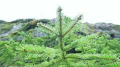 Movement along a small pine grew up on rock Stock Footage