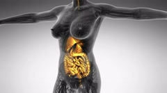 Stock Video Footage of science anatomy of human body in x-ray with glow digestive system
