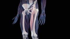 The human rectus femoris Stock Footage