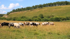 Herd of Cows on Pasture. Stock Footage