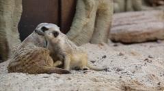Family of meerkat Stock Footage