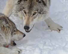 Playful Timber Wolves - stock photo