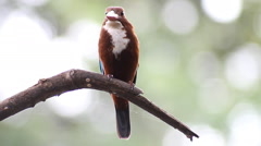 Birds white-throated kingfisher(Halcyon smyrnensis)on branches in a forest Stock Footage