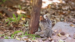 Marmoset monkey playing on the floor Stock Footage