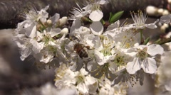 Honeybee on a plum tree blossoms spring Stock Footage