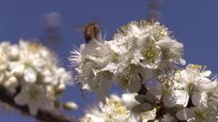 honeybee on a plum tree blossoms spring - stock footage