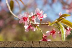 blooming pink flower of Wild Himalayan Cherry - stock illustration