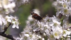 Butterfly on plum tree blossoms spring Stock Footage