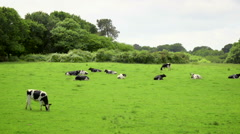 Dairy cows grazing in green field - stock footage