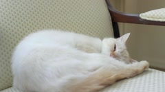 A female cat sleeps on chair - red point siamese - stock footage
