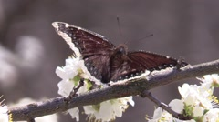 Brown butterfly on plum tree blossoms spring Stock Footage