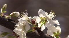 Ladybug on plum tree blossoms spring Stock Footage