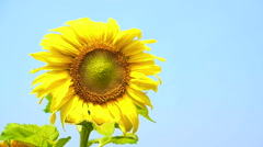 Video sunflower bloom and humble bee flying to collect pollen on blue sky Stock Footage