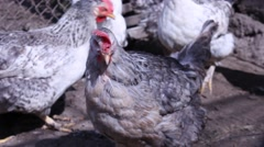 Chickens in the village. Chickens eating grass in the yard. Natural village c Stock Footage