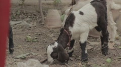 Kid Goat eating leaves - stock footage