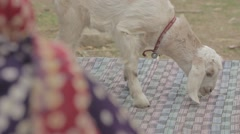 Small Goat eating - stock footage
