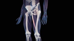 The isolated human gracilis Stock Footage