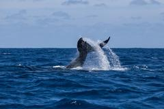 Humpback Whale Raising Its Tail Out of the Water Stock Photos