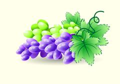 Green and blue grapes on a branch. Vector - stock illustration