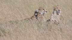 Cheetahs Relaxing Stock Footage