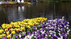 Keukenhof colorful blooming garden springtime Stock Footage