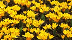 Yellow crocus blooming beet  Keukenhof Gardens springtime Stock Footage