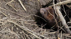European mink (Mustela lutreola) in a native habitat Stock Footage