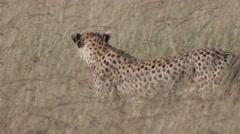 Cheetahs walking through the Grass Stock Footage