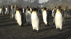 Steadycam pan of large king penguin colony in South Georgia island Stock Footage