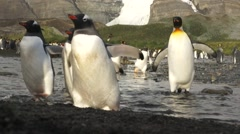 Gentoo and king penguins running through water in slow motion Stock Footage