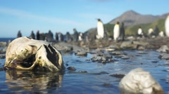 Penguin skull shift focus to colony - unique angle of South Georgia Stock Footage
