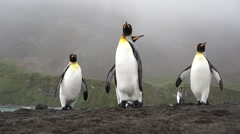 King penguin grup in South Georgia Island Stock Footage