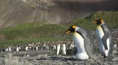 King penguin holding egg on feet and walking Stock Footage