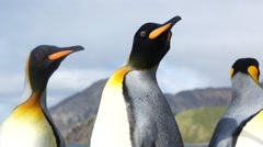 Penguin flapping tail and pan to moving heads Stock Footage