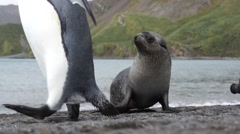 Fur seal watches passing king penguin Stock Footage