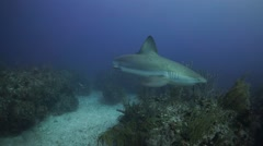 Stock Video Footage of Carribean Reef Shark in clear blue water