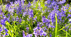 4K Bluebell Flowers in Lush Green Field, Spring Time Stock Footage