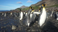 Largest penguin colony in the world - steady wide angle rise pan - stock footage