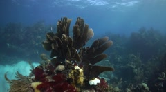 Giant fan coral moves in swell coral reef Stock Footage