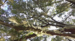 Beautiful romantic spanish moss on live oak tree branches - stock footage