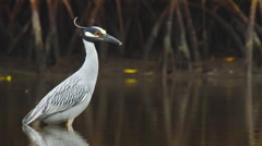 Yellow-crowned Night Heron hunting crabs Stock Footage