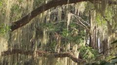 SLOW MOTION: Spanish moss on big live oaks swinging in summer breeze - stock footage