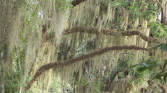 SLOW MOTION: Spanish moss on big live oaks swinging in summer breeze Stock Footage