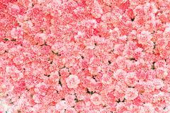 Beautiful pink carnation flower - stock photo