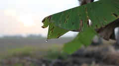 A torn banana leaf with drop of rain water Stock Footage