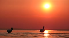 Swans cleaning plumage in waters at sunset  time lapse against sun Stock Footage