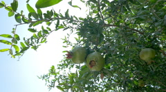 Pomegranate tree with green fruit Stock Footage