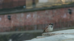 Beautiful, little bird sitting on the wall in the city. Stock Footage
