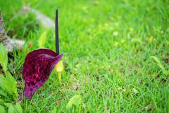 unusual turkish vivid wild exotic flower on green grass background, close up - stock photo