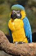 Blue and Yellow Macaw parrot Stock Photos
